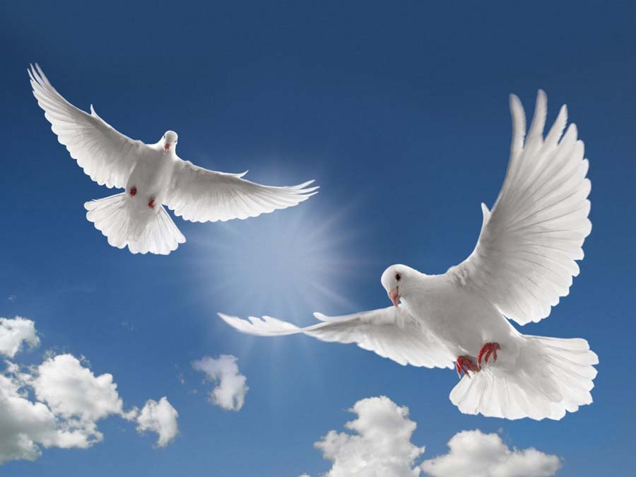Graceful White Dove Release For Your Wedding